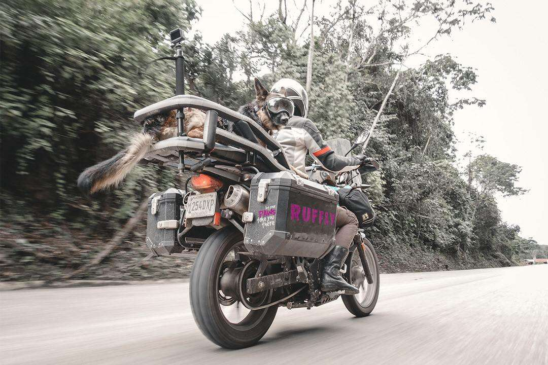 Woman rides adventure motorcycle at high speed with large German Shepherd in motorcycle dog carrier