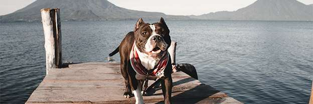 Pitbull runs on wooden dock over lake and wearing handmade red bandana